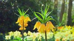 Orange fritillarias Stock Footage