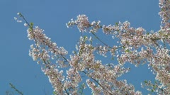 Stock Video Footage of Prunus