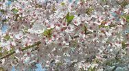 Stock Video Footage of Prunus