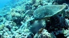 Hawksbill turtle Stock Footage
