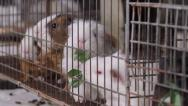 Stock Video Footage of Guinea Pigs Feeding Inside Cage (HD)