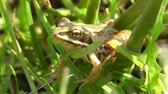 Bog frog - Rana arvalis - stock footage