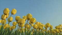 Yellow tulips - stock footage