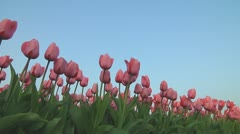 Pink tulips Stock Footage