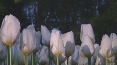 White tulips Stock Footage