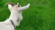 Stock Video Footage of goat on green meadow # 4 (life sound)