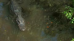 Alligator swimming in Florida Everglades wetland - stock footage