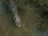 Stock Video Footage of Alligator swimming in Florida Everglades wetland