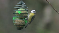 Blue Tit Bird Stock Footage