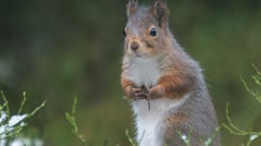 Red Squirrel Stock Footage