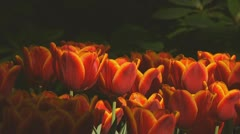 Red and yellow tulips - stock footage