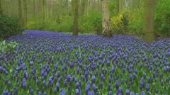 Grape hyacinths Stock Footage