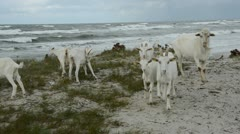 Goats on the sea beach in summer end time Stock Footage