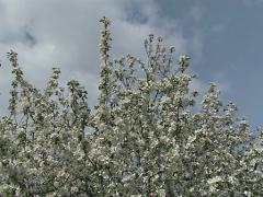 Flowering fruit tree Stock Footage