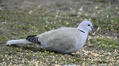 Collard Dove feeding Stock Footage