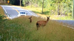 Dwarf Deer on Queen Charlotte Island Stock Footage
