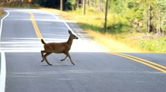 Dwarf Deer jumping across the road on Haida Gwaii Stock Footage