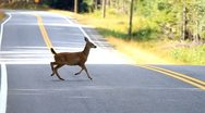 Stock Video Footage of Dwarf Deer jumping across the road on Haida Gwaii