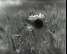 Sunflower among the rye Stock Footage
