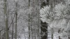 Ice covered pine with cottonwoods in background Stock Footage