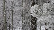 Stock Video Footage of Ice covered pine with cottonwoods in background
