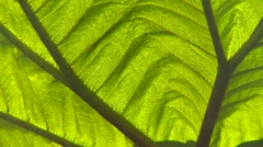 Nature, elephant ear plant, tropic rainforest, backlit detail Stock Footage