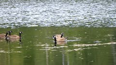 Canada Geese hang out on the lake Stock Footage