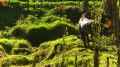 Horse grazing on leash, farm, Panama Stock Footage