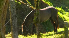 Agriculture, horse grazing on leash, Panama highlands Stock Footage
