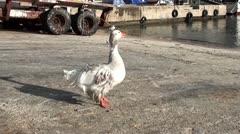 A goose preening 2 Stock Footage