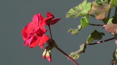 Geranium flower zoom out Stock Footage