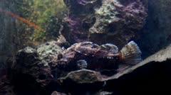Black scorpionfish Stock Footage