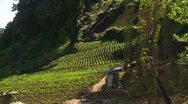 Agriculture, steep hillside veggies crops. Stock Footage