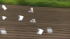 Cattle Egrets in flight landing on farm field, freshly plowed Stock Footage