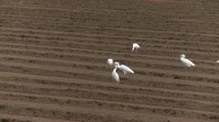 Cattle Egrets in field Stock Footage
