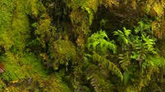 Nature, moss and fern covered cliff water dripping, rainforest Panama Stock Footage