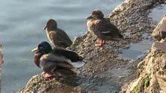Three ducks standing on a stone preening. Stock Footage