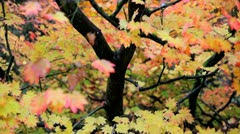 Maple tree, Gloucestershire, UK - stock footage