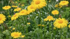 In the camomile field Stock Footage