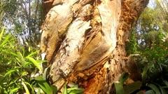 Eucalyptus Tree Bark Stock Footage