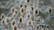 Teasle plant swaying in the wind Stock Footage