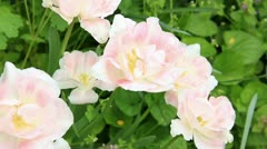 Pale pink flowers on the greeny background Stock Footage