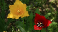 Red and yellow bloom tulips flower Stock Footage