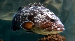 Dusky grouper swimming - stock footage