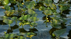 Water lilies in a swamp Stock Footage