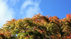 Maple trees, Westonbirt, Gloucestershire Stock Footage