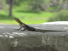 Lizard sitting on a stone. lizards live in namibia side by side with people Stock Photos
