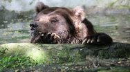 Stock Video Footage of Bear 02