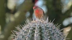 Bird Saguaro Cactus Stock Footage