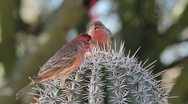 Red Finches Cactus Spikes Stock Footage